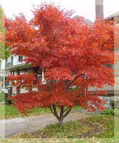 japanese-maple
