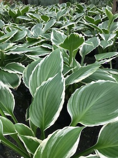 hostas at Woods Creek Nursery