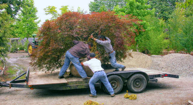 moving-a-big-tree